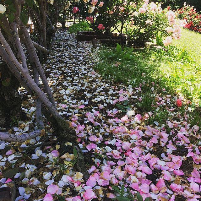 Rose garden morning
