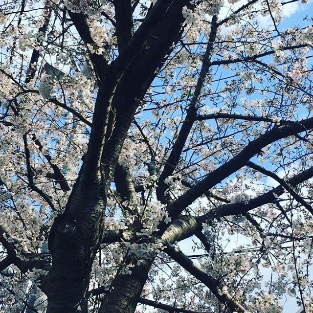 Cherry blossoms are here ❤️ #Japan #Sakura